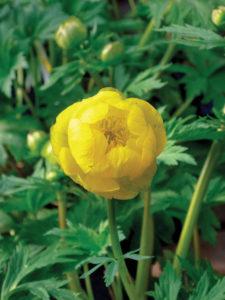 Trollius superb yellow globe flower