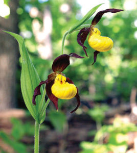 """Yellow ladyslippers have greenish brown sepals and petals and a yellow """"slipper"""" with a few brown or reddish-purple spots."""