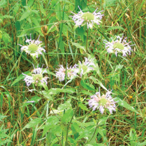 Wild bergamot is named after the Bergamot orange due to the similar fragrance emitted from its leaves, flowers and seed heads.