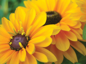 Black-eyed Susans are one of the most popular wildflowers grown in gardens.