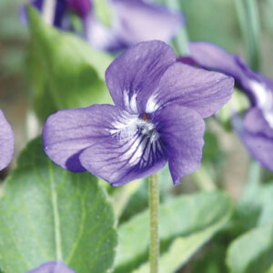 The nodding flower of the sand violet has five purple petals; the top two occasionally have hooked spurs at the tips – leading to its hooked nickname.