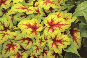 Heucherella Stoplight