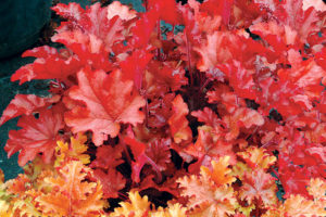 Heuchera Peache Flambe.