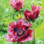 patty's plum poppies