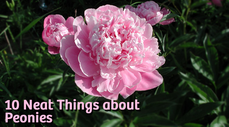 10 Neat things about peonies
