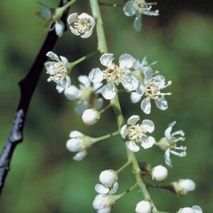 Black cherry (Prunus serotina) plant hardiness zone 3
