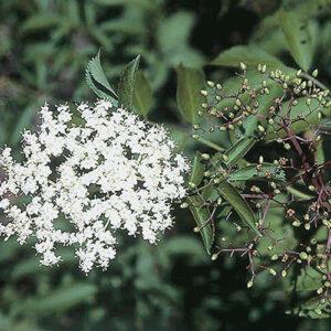 Blueberry elder (Sambucus cerulea) plant hardiness zone 3