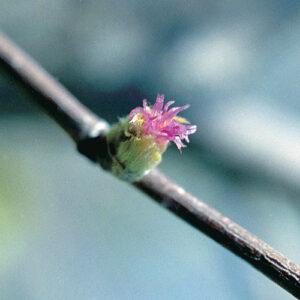 Beaked hazel (Corylus cornuta) plant hardiness zone 3