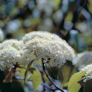 Nannyberry (Viburnum lentago) plant hardiness zone 2