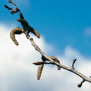Balsam poplar (Populus balsamifera) plant hardiness zone 0