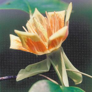 Tulip tree (Liriondendron tulipifera) plant hardiness zone 5