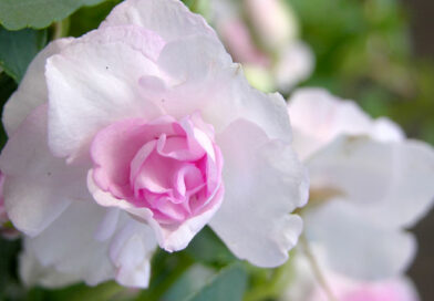 Downy mildew killing impatiens