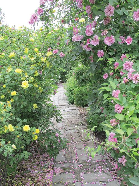 In July the garden is at its peak. Rose garden of Ontario