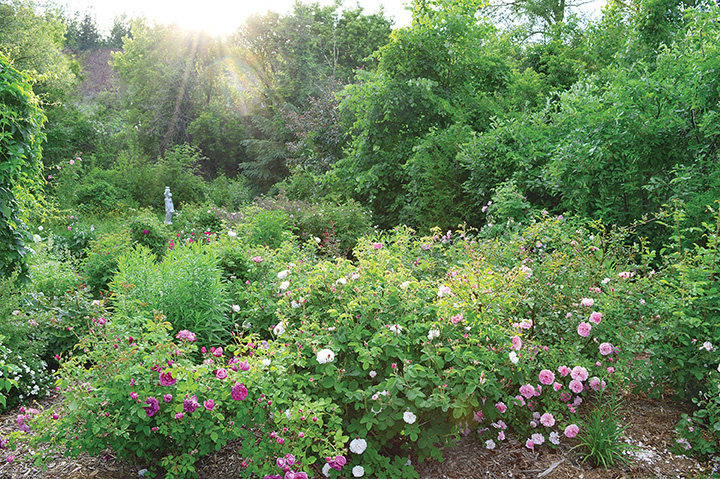 Michel shies away from cultivars prone to diseases such as Floribunda, Grandiflora, hybrid teas and miniature roses that are just not hardy enough for our climate.