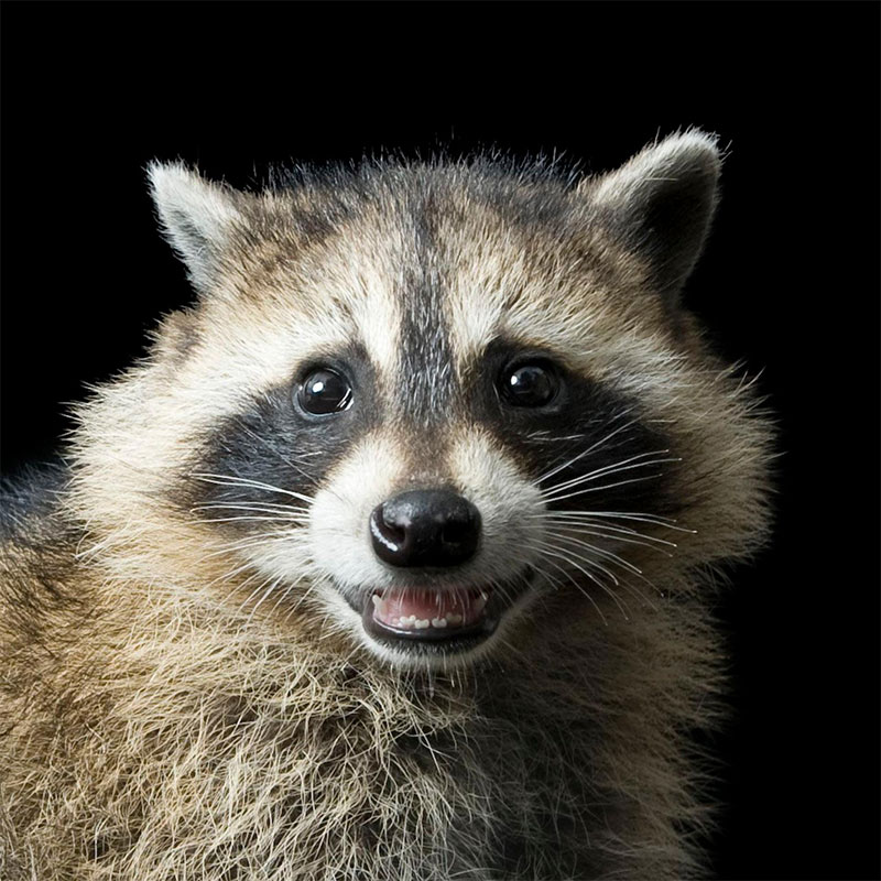 Racoons don't just tear open your garbage; they also eat some garden pests like slugs.