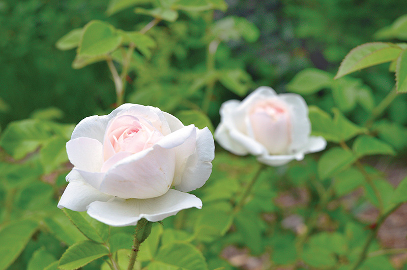 The garden is a rose lover's paradise.