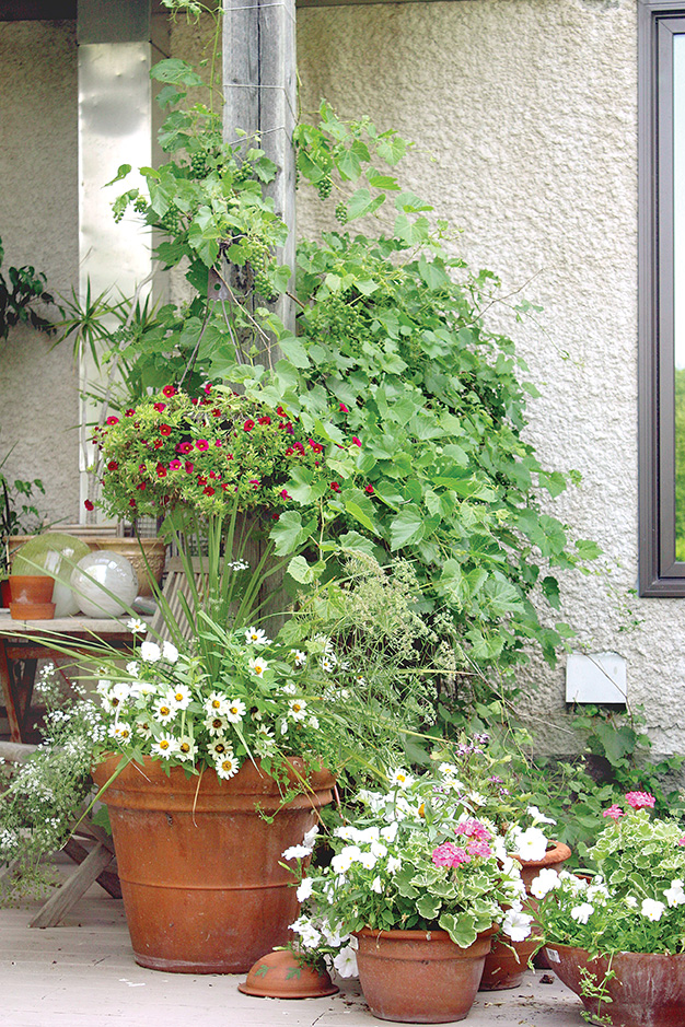 Every year Jeanette buys a couple more terra cotta planters to add to her growing collection of stunning containers.