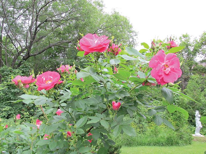 """Explorer rose """"William Baffin"""". Rose garden of Ontario"""