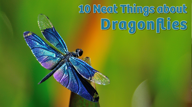 10 Neat things about dragonflies
