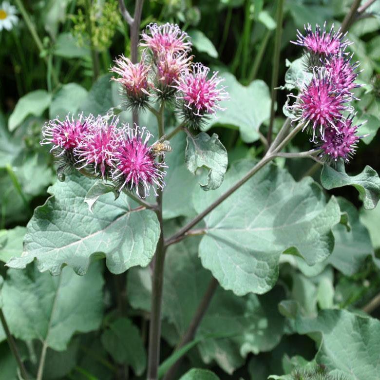 Arctium lappa burdock edible weed