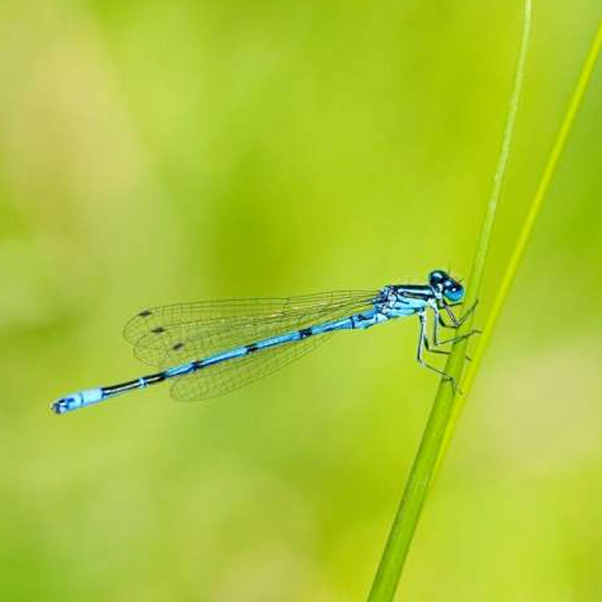 10 neat things about dragonflies damselfly