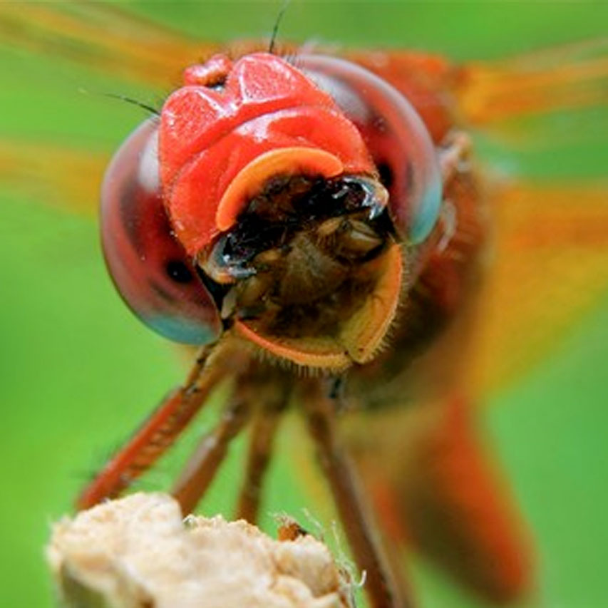 dragonfly jaws