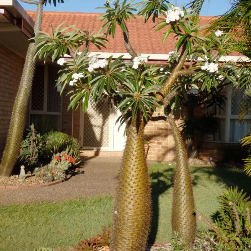 succulents pachypodium lamerei