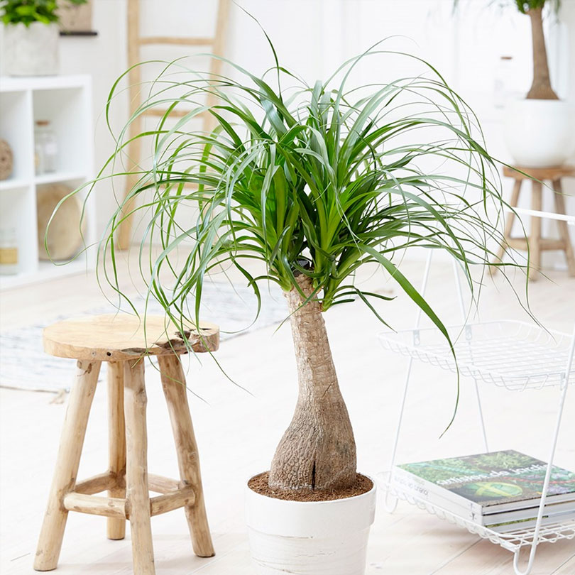 10 neat things about succulents ponytail palm