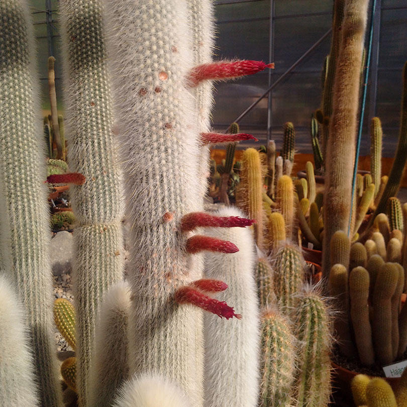 10 neat things about succulents silver woolly torch