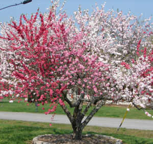 Peach tree