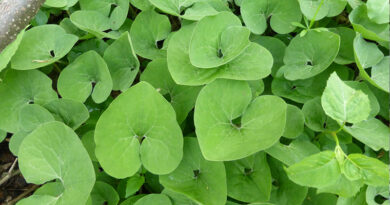 Canadian wild ginger