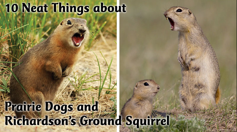 10 Neat Things about Prairie Dogs and Richardson's ground squirrels