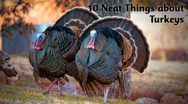 10 Neat Things about turkeys