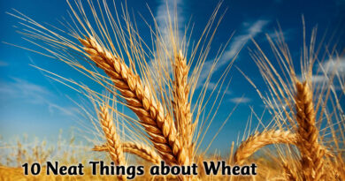 10 Neat things about wheat