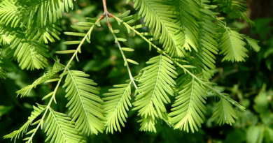 Ontario Story: Dawn redwood