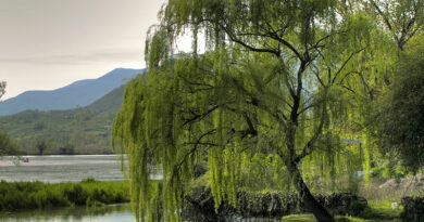 Alberta Story: Willows are versatile and beautiful