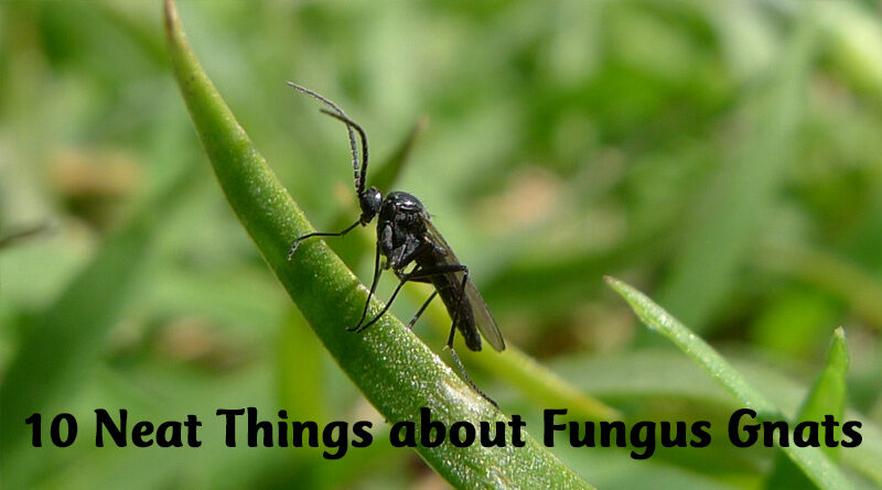 10 Neat Things about Fungus Gnats