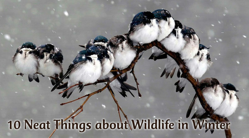 10 Neat Things about Wildlife in Winter