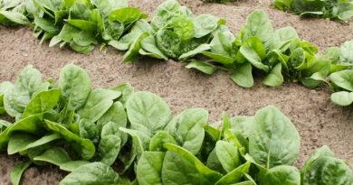 spinach recipe