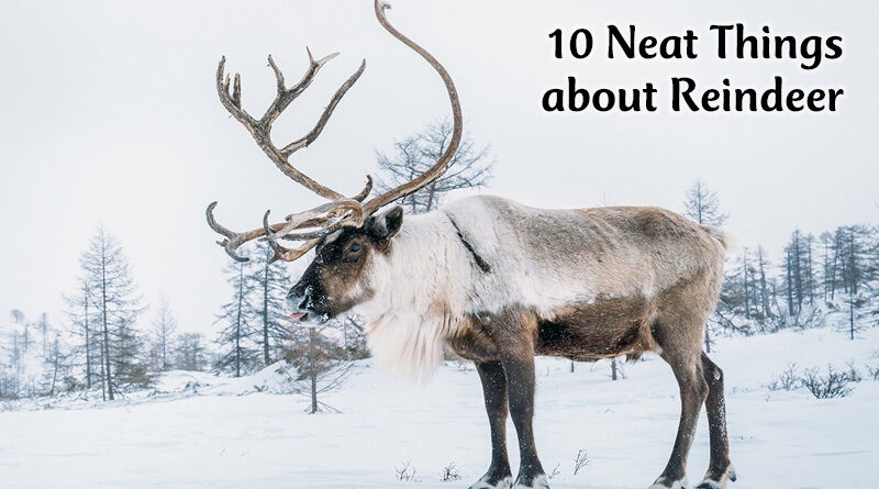 10 neat things about reindeer