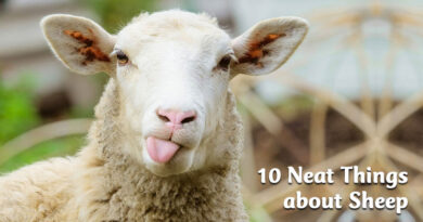 10 neat things about sheep