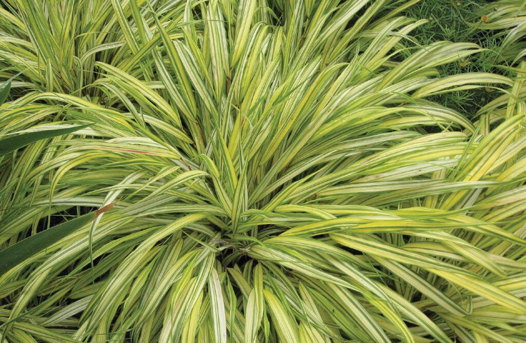 japanese fountain grass