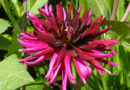 Dahlias in your garden