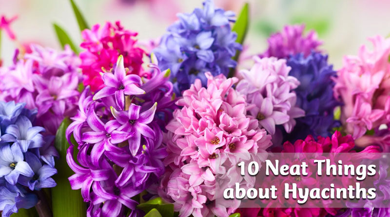10 Neat Things about hyacinths