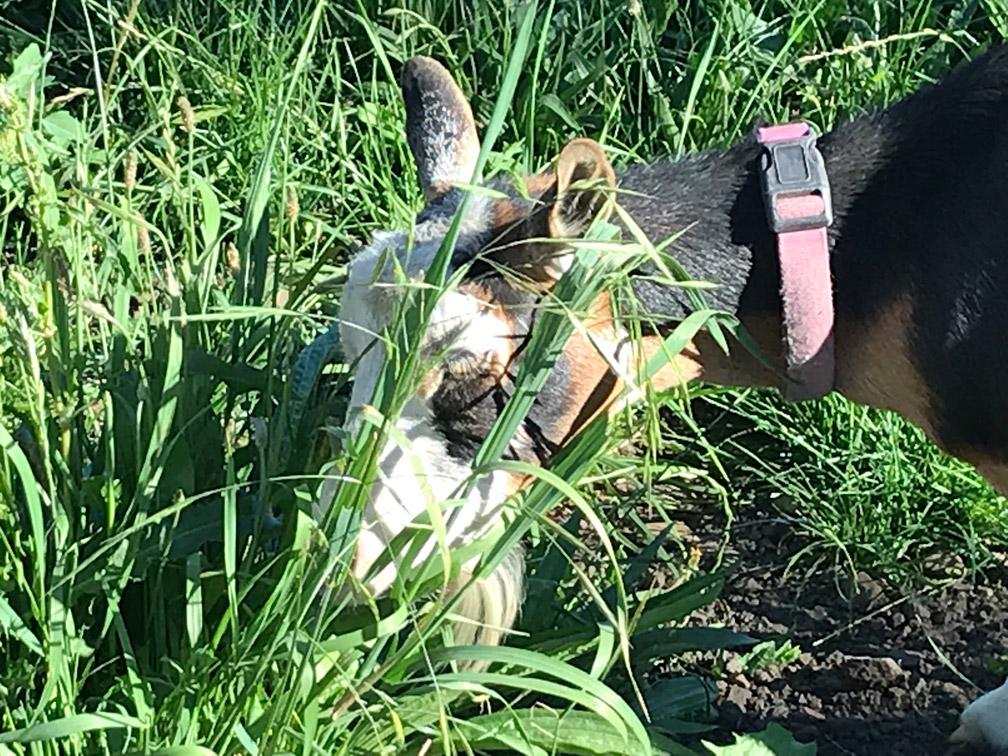 Goat Smelling Grass at Almosta Farm Cove Oregon