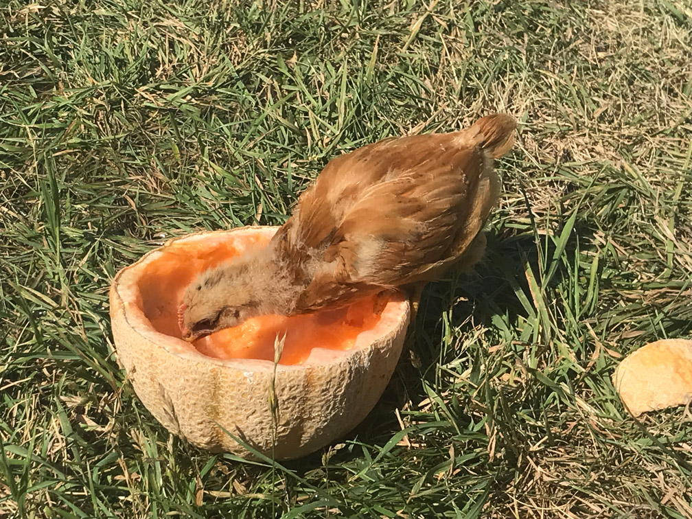 Chick with Cantaloupe at Almosta Farm Cove Oregon