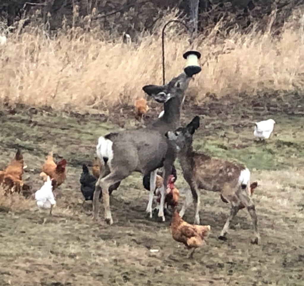 Deer and Chickens at Almosta Farm Cove Oregon