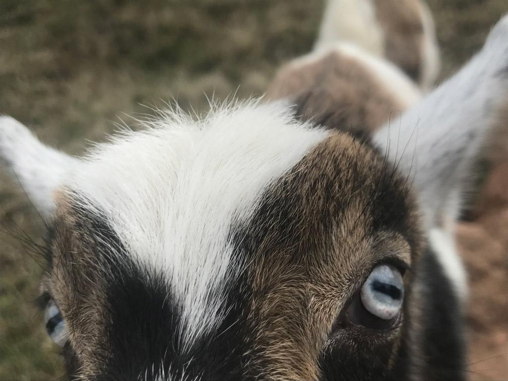 Goat Eyes at Almosta Farm Cove Oregon
