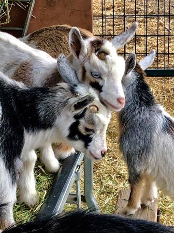 Goat Herd at Almosta Farm Cove Oregon