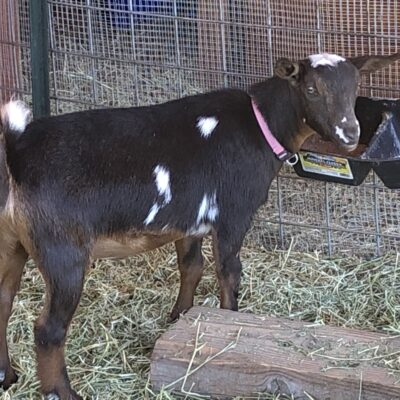 Almosta Farm Ella Goat